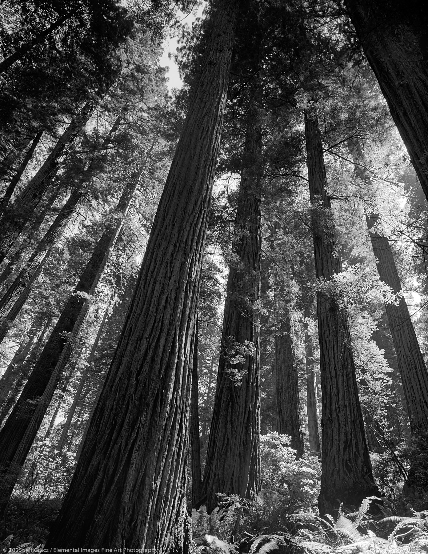 old growth redwoods      CA   USA - © © 2005 Jeff Gracz / Elemental Images Fine Art Photography - All Rights Reserved Worldwide