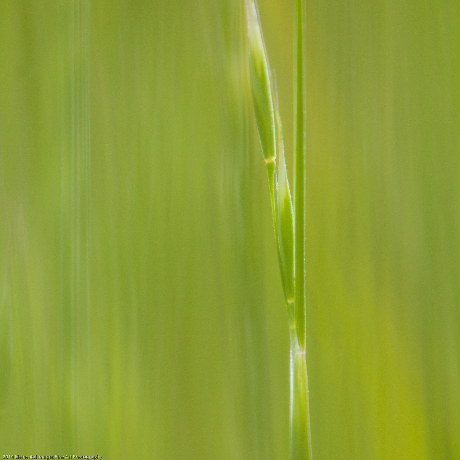 Grasses CXXXIII | The Palouse | WA | USA - © 2014 Elemental Images Fine Art Photography - All Rights Reserved Worldwide