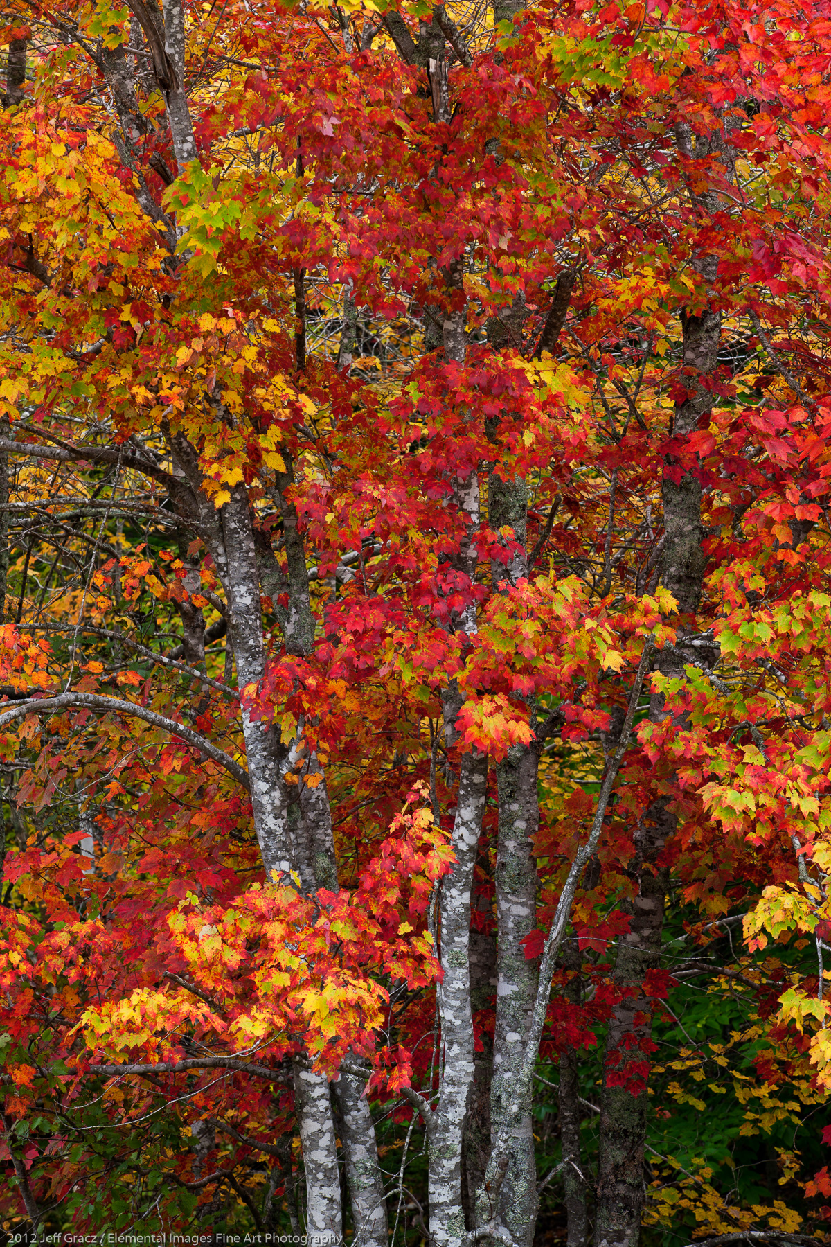 Cape Breton Maple | Cape Breton | Nova Scotia | Canada - © 2012 Jeff Gracz / Elemental Images Fine Art Photography - All Rights Reserved Worldwide