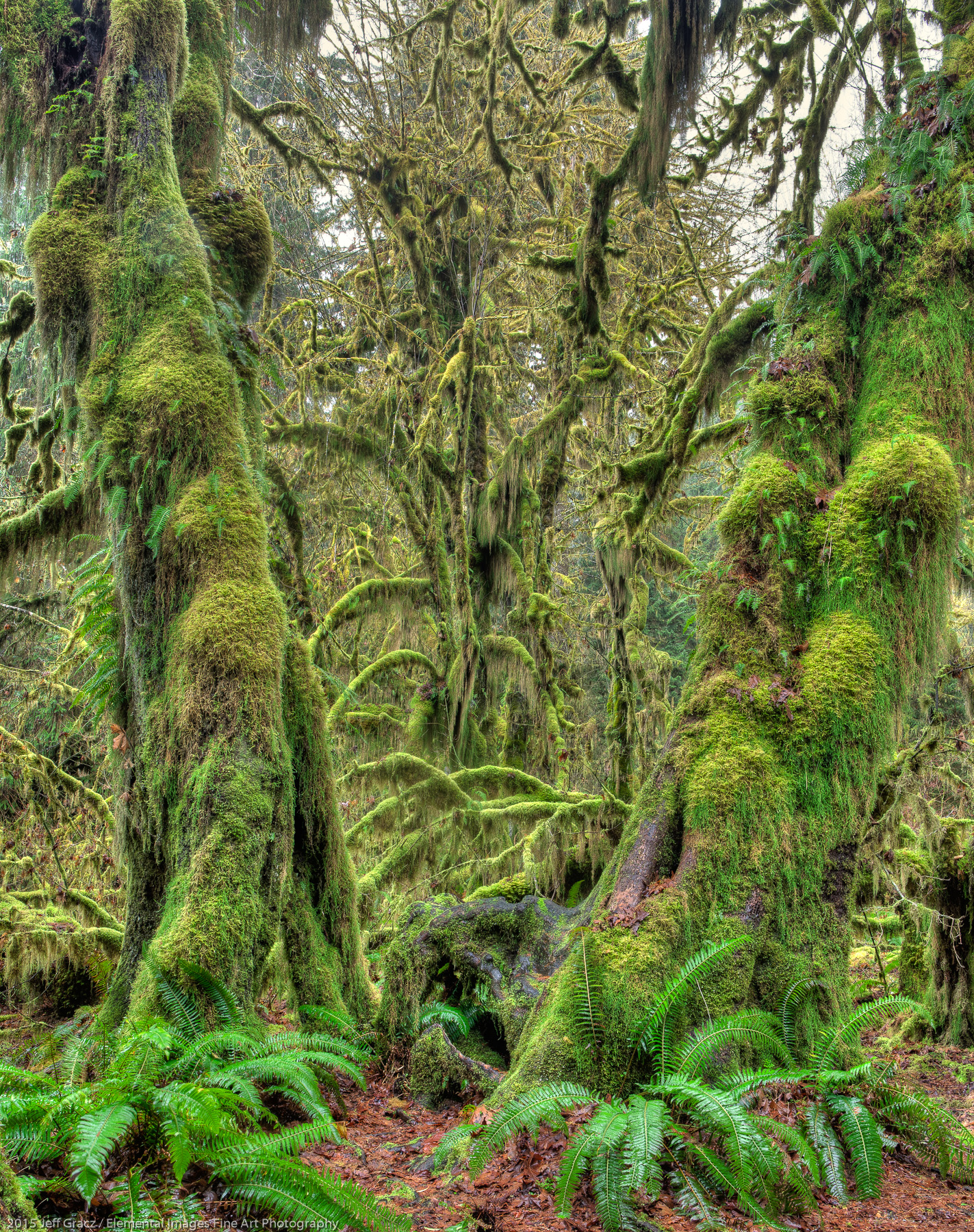 Elders of the Green | Olympic National Park | WA | USA - © 2015 Jeff Gracz / Elemental Images Fine Art Photography - All Rights Reserved Worldwide