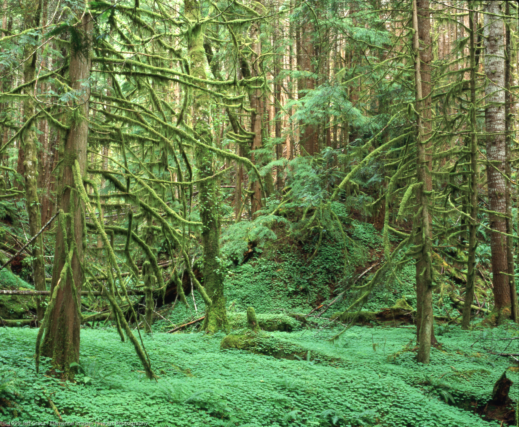 lushness. moss shrouded tree boughs, ferns, sorrel | clatsop state forest | OR | usa - © © 1999 Jeff Gracz / Elemental Images Fine Art Photography - All Rights Reserved Worldwide