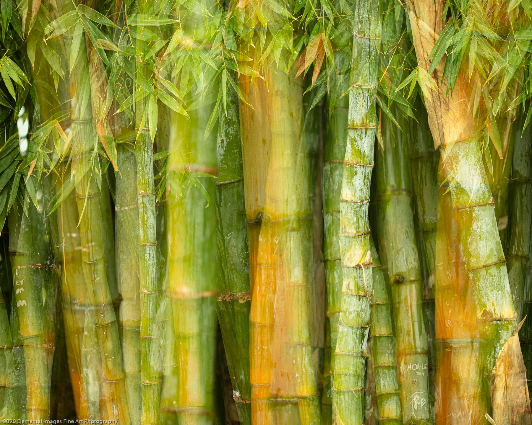 Bamboo Cluster   San Marino   CA    - © 2020 Elemental Images Fine Art Photography - All Rights Reserved Worldwide