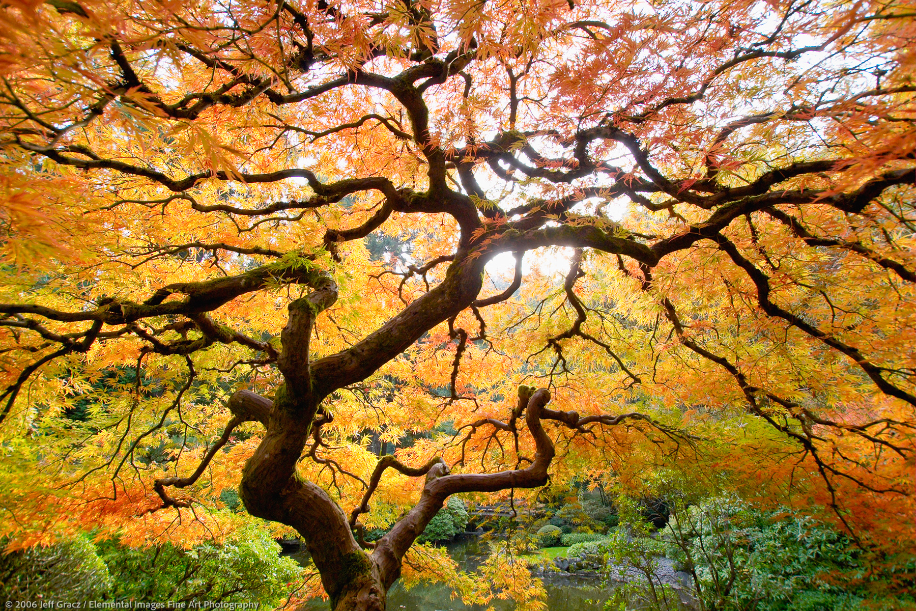 autumn japanese maple | portland | OR | USA - © © 2006 Jeff Gracz / Elemental Images Fine Art Photography - All Rights Reserved Worldwide