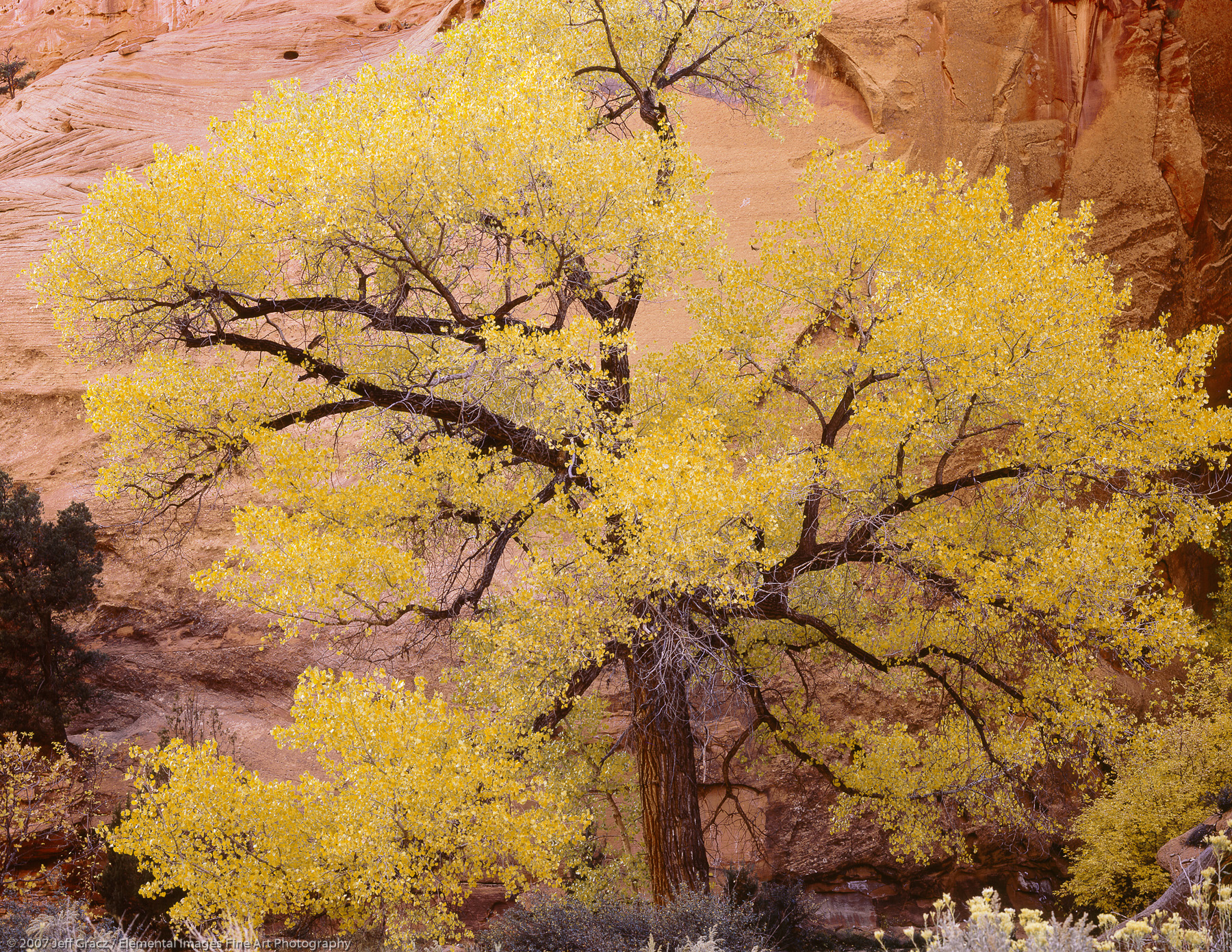 Sublime Cottonwood | Grand Staircase - Escalante National Monument | UT | USA - © © 2007 Jeff Gracz / Elemental Images Fine Art Photography - All Rights Reserved Worldwide