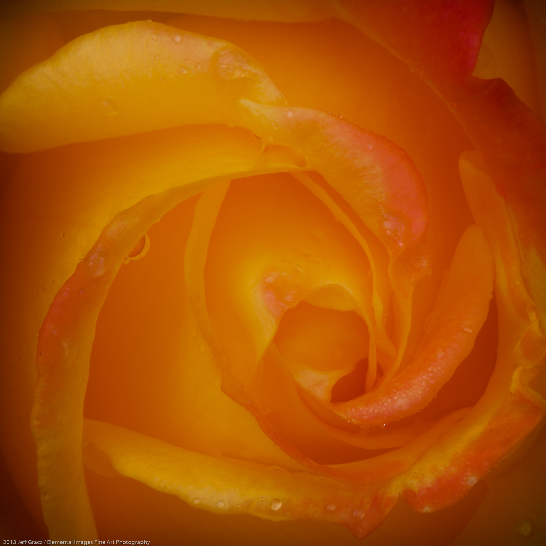 Roses XXXVIX | Portland | OR | USA - © 2013 Jeff Gracz / Elemental Images Fine Art Photography - All Rights Reserved Worldwide