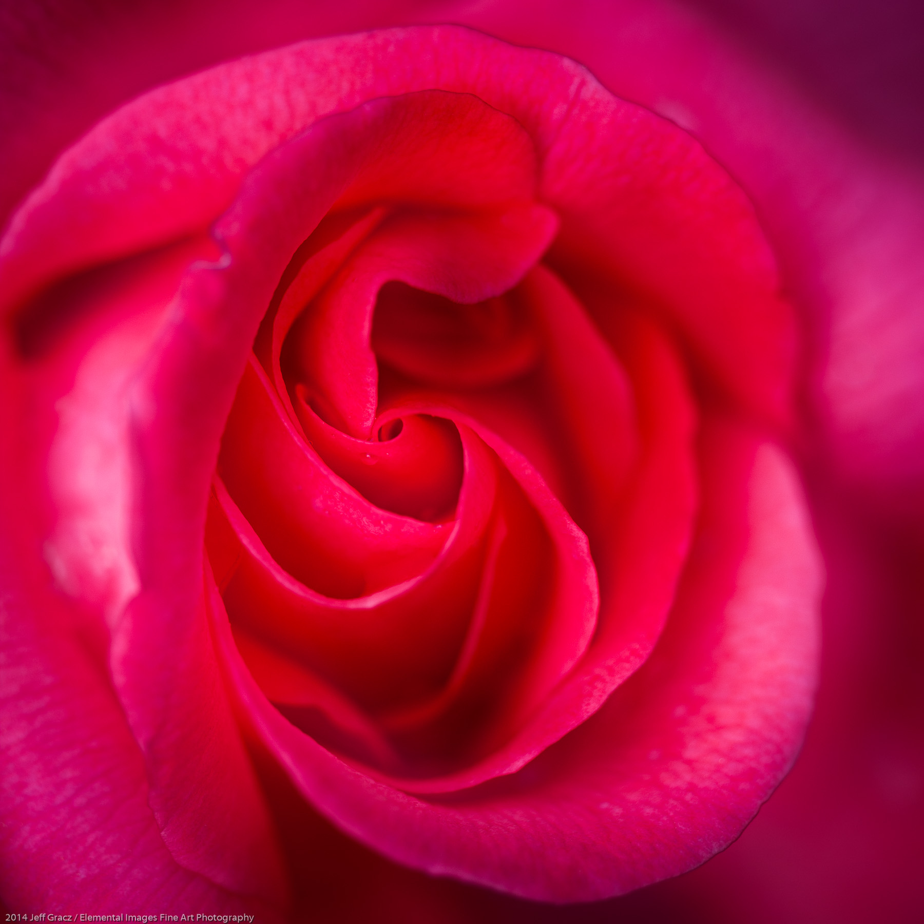 Roses LVII | Portland | OR | USA - © 2014 Jeff Gracz / Elemental Images Fine Art Photography - All Rights Reserved Worldwide