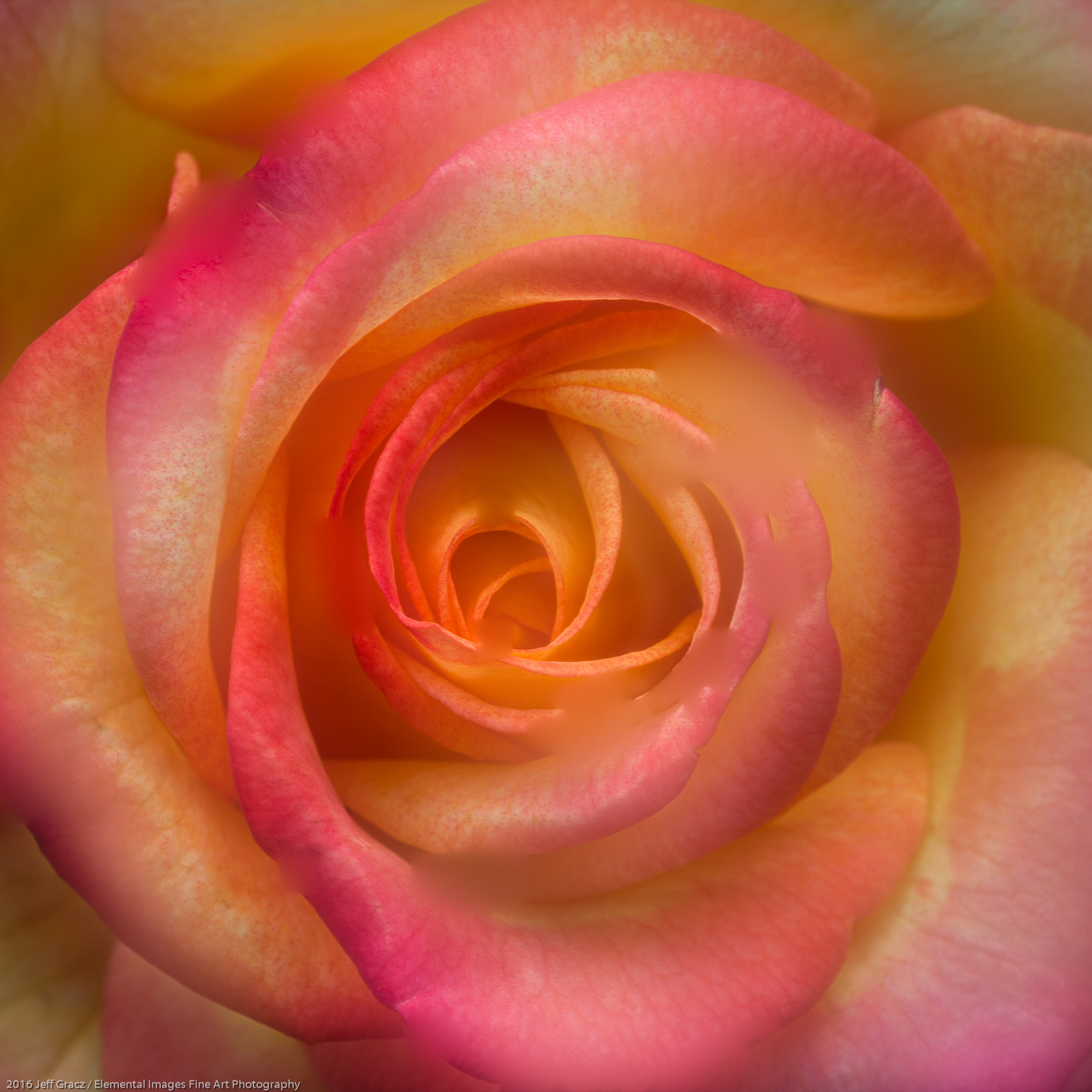Roses #75   Portland   OR   USA - © 2016 Jeff Gracz / Elemental Images Fine Art Photography - All Rights Reserved Worldwide