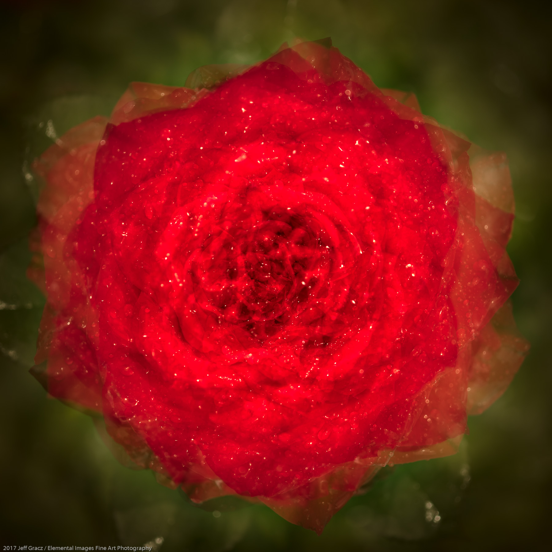 Roses #106 | Portland | OR | USA - © 2017 Jeff Gracz / Elemental Images Fine Art Photography - All Rights Reserved Worldwide